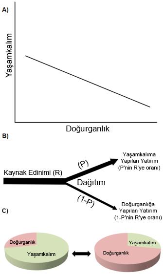 Şekil 2: Yaşam öyküsü karakterlerinde mübadele. (A): Bir negatif genetik (ya da fenotipik) örtüşüm. Mesela üreme (yumurtlanan yumurta sayısı gibi) ile yetişkin formun hayatta kalabilmesi arasında görülen bir mübadele. Bu tür negatif ilişkiler en yaygın görülenlerdir. (B): Kaynak tahsisi mübadelesinde Y-modeli olarak adlandırılan model. Verilen örnekte kısıtlı bir kaynak (mesela besin maddeleri) temin ediliyor ve hayatta kalmayı sağlayacak fizyolojik süreçlere, üreme fonksiyonları (yumurtlama, döllenme gibi) pahasına farklı şekilde (rekabet içinde) tahsis ediliyor. (C): Yaşam öyküsü karakterleri arasında görülen mübadeleyi anlayabilmek için kolay bir yol, bu karakterleri bir pastanın dilimleri gibi düşünmektir.