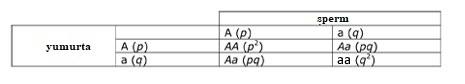 Tablo 1. Hardy-Weinberg varsayımlarına uyan bir popülasyonda iki alelli Mendel lokusundaki tüm olası genotiplerin oluşma olasılığını gösteren bir Punnet karesi.
