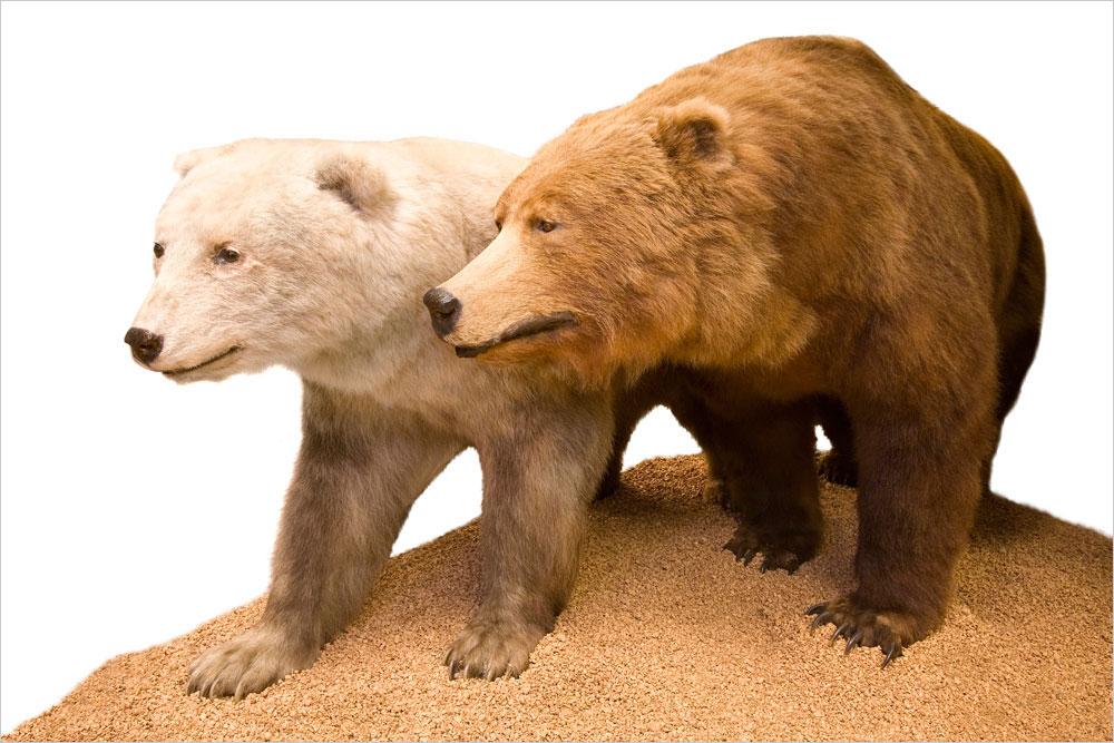Görsel 1. Yukarıda, Londra'daki Natural History Müzesi'nde sergilenmekte olan bir bozayı-kutup ayısı melezi görülmektedir. Bu tip melezleşmeler nispeten az rastlanır olsa da her iki ebeveyn türün genetik mirasını etkileyecek sıklıktadır.