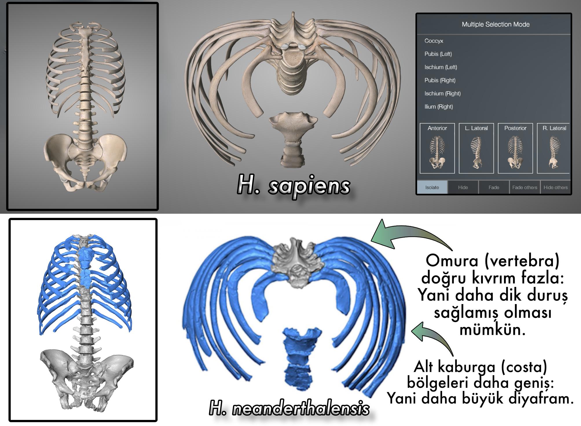 Üstte insan, altta ise neandertal göğsünün karşılaştırması.