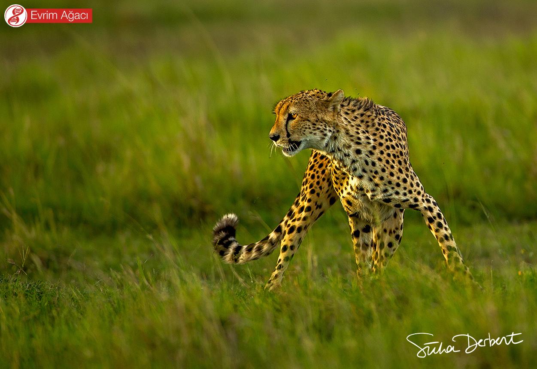 Karadaki en hızlı hayvan olan çita (Acinonyx jubatus).