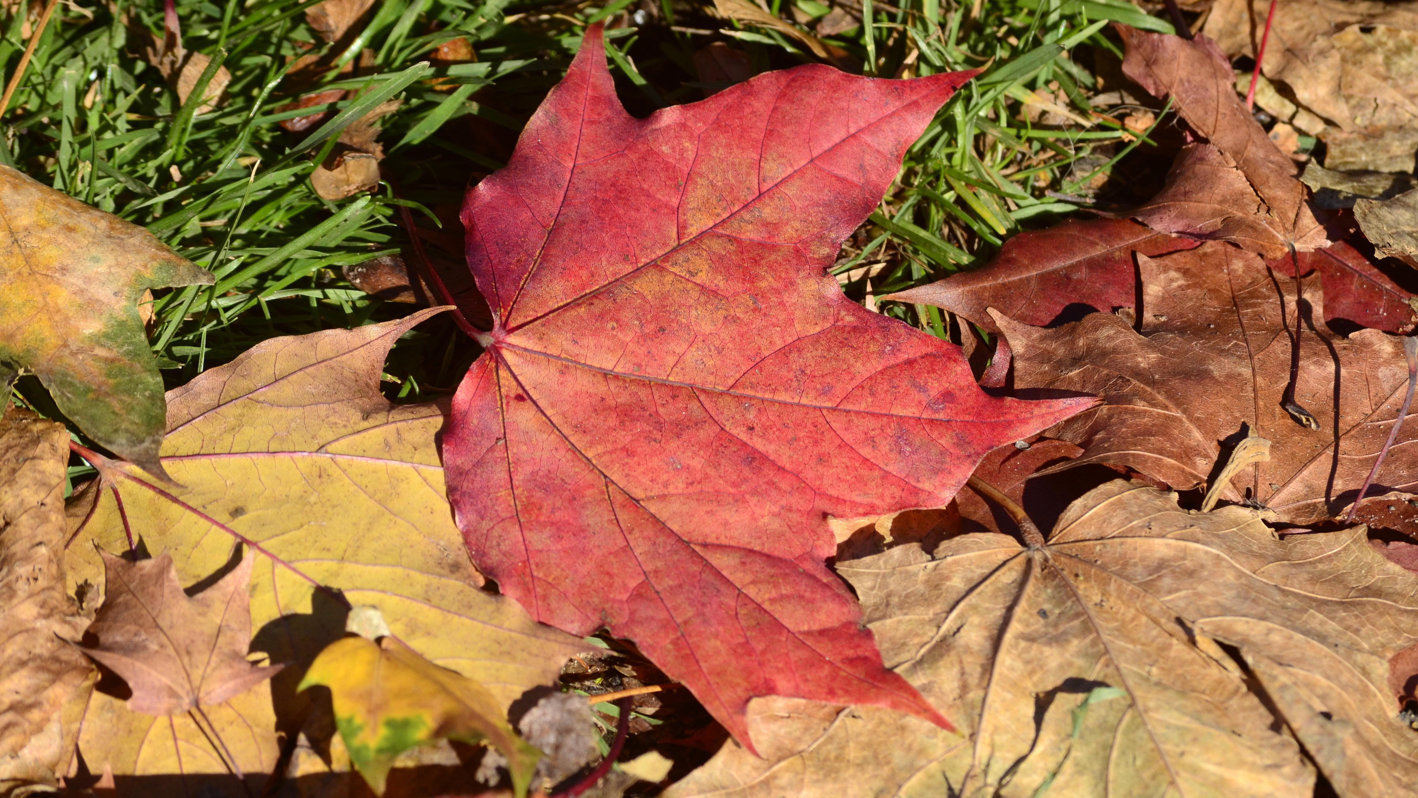 Bu yaprağın kırmızı renkli olmasını sağlayan, antosiyanin pigmentleridir. Antosiyanin pigmentleri bitki hücresinin sitoplazmasında flavonoid yoluyla üretilen, suda çözünebilen pigmentlerdir. Şeker molekülünün bağlanması ile birlikte depolandıkları vakuolde özellikle çözünür hale gelirler. Antosiyaninler mavi-yeşil dalga boylarındaki ışığı absorbe ederek, bitki tarafından kırmızı dalga boylarının dağılmasını sağlarlar.