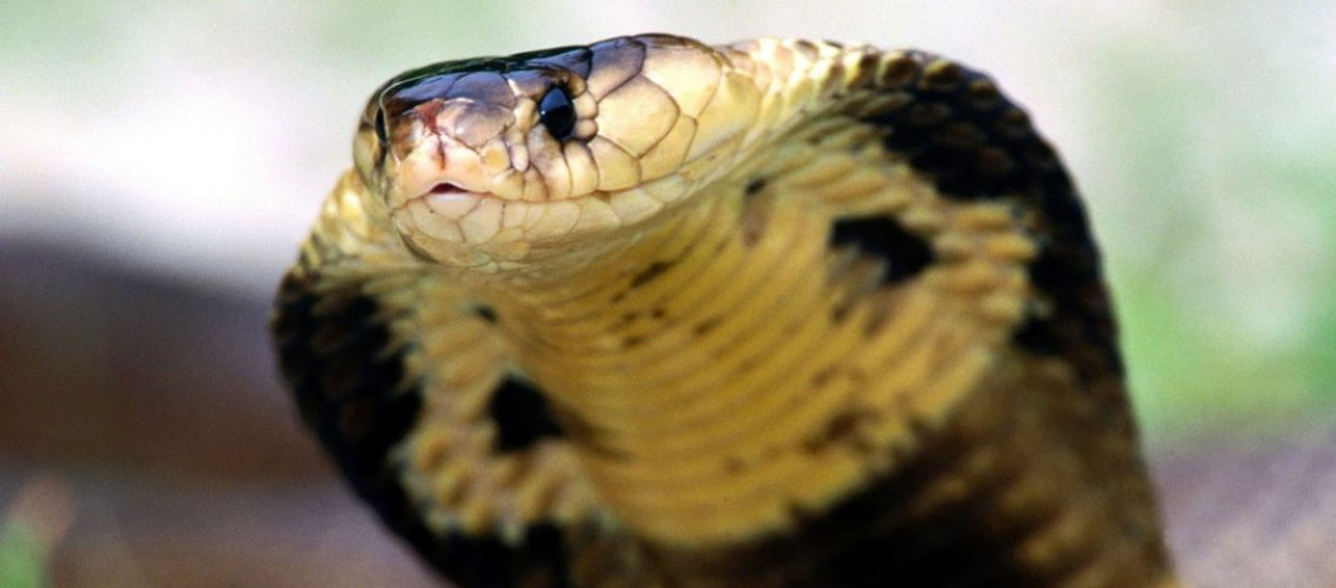 Yüzündeki yılan balığı: tedavi ve tavsiye