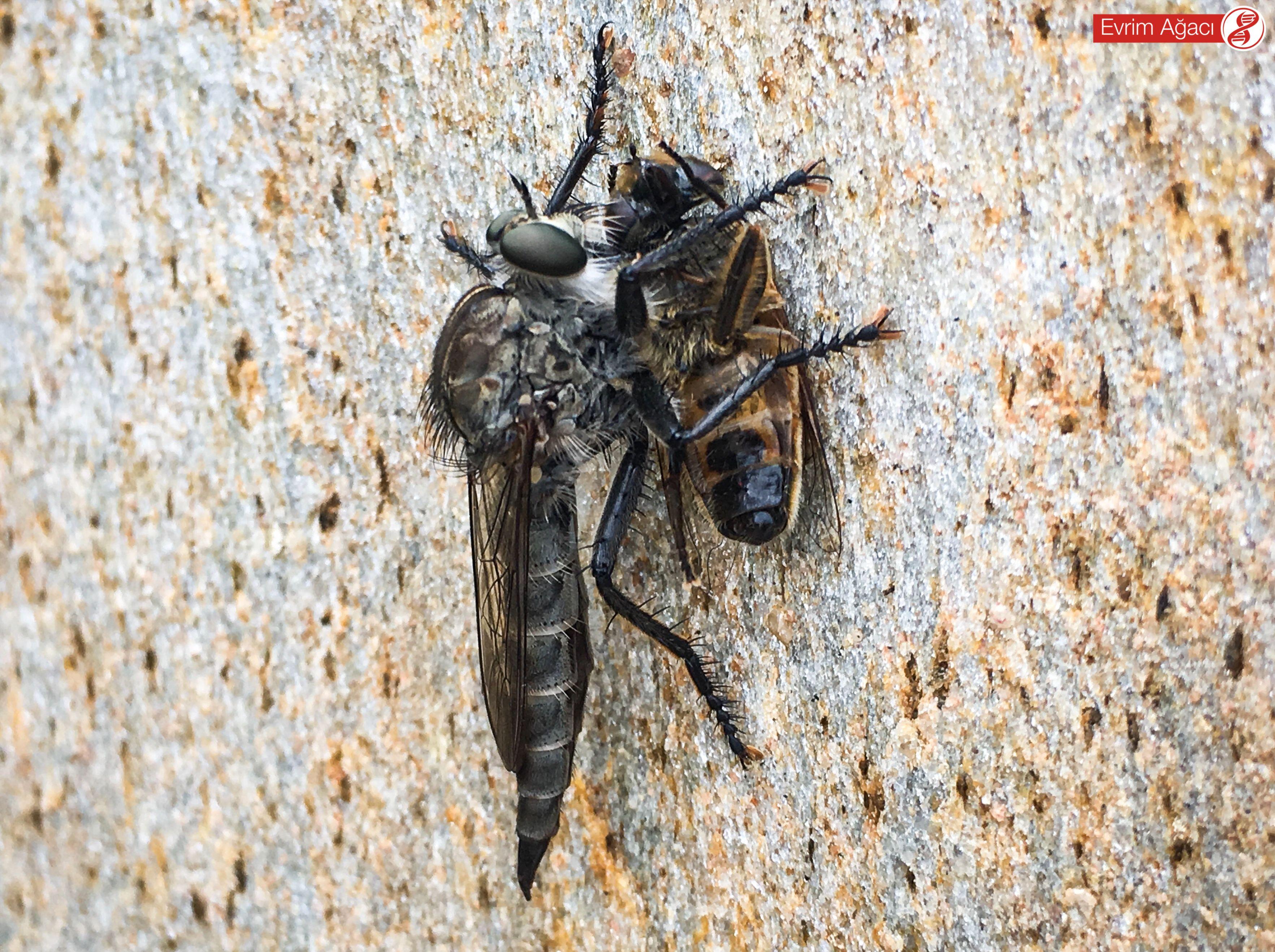 Çiçek sineğinin iç organlarını parçaladıktan sonra adeta sıvılaştırarak emen bir suikastçi sinek.