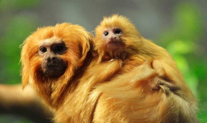 Görsel 1. Bazı altın aslan tamarinleri tek eşle çiftleşir. Erkek ve dişi primat birlikte kalır, yavrularını yetiştirmek için birlikte emek verir.