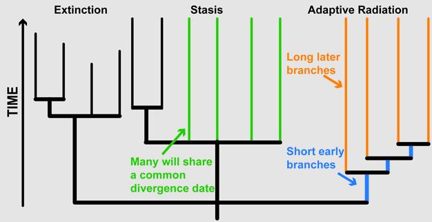 Görsel 1. Nesil tükenmeleri, adaptif radyasyonlar ve durağanlık (staz) gibi makroevrimsel model örneklerinin filogenetik ağaçta gösterimi.