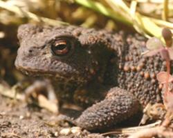 Görsel 8. Siğil kurbağası (Bufo bufo)