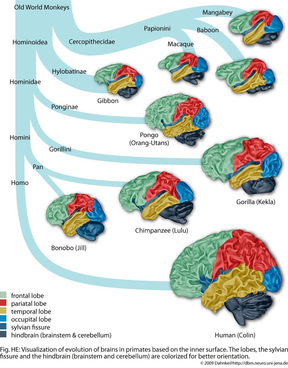Yine insan beyninin evrimini, hem de farklı beyin bölgelerini de aynı grafik üzerinde gösterebilen harika bir görsel...