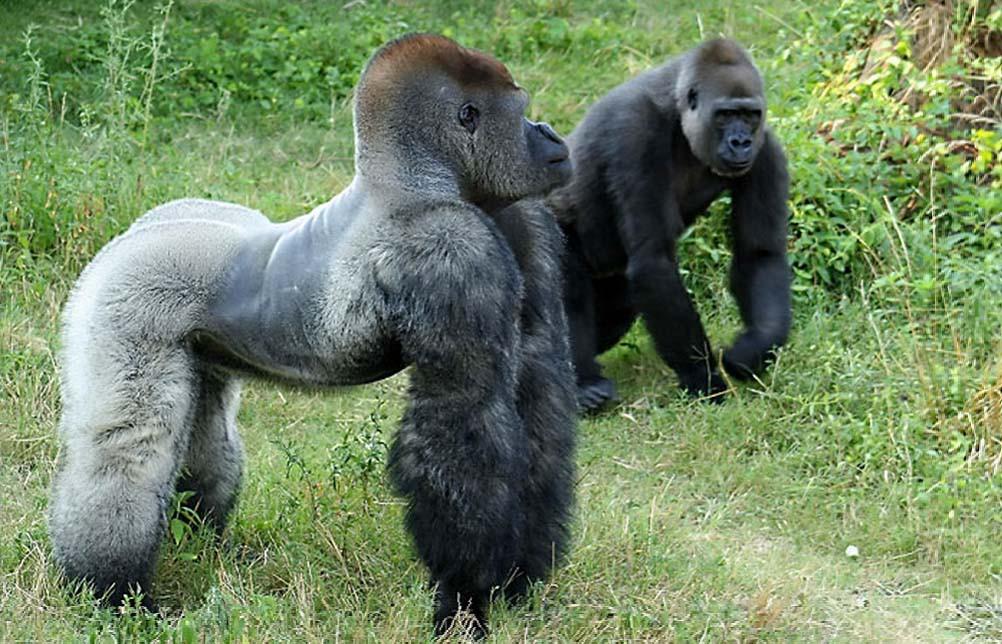 Gorilla beringei graueri