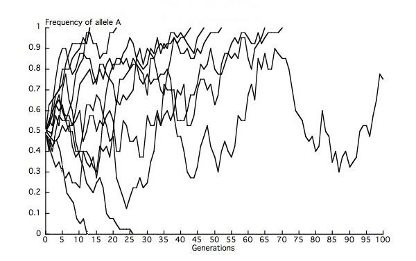Görsel 2. 10 tane kopya popülasyonda alel sıklığı değişikliği simülasyonu (N = 20). A alelinin başlangıç sıklığı 0,5 olduğu için, A alelinin 5 popülasyonda sabitlenmesini, 5 popülasyonda da yok olmasını bekleriz; ancak sonlu sayıda olan popülasyonlar gözlemlerimizin beklentilerden sapmasına sebep olur. Bu simülasyonlar sırasında, 100 nesil sonrasında 7 sabitlenme örneği (p=1), 2 kayıp örneği (p=0) ve iki alelin de var olduğu 1 örnek görüyoruz. Bu son popülasyonda, A aleli en sonunda ya sabitlenecek ya da yok olacaktır.