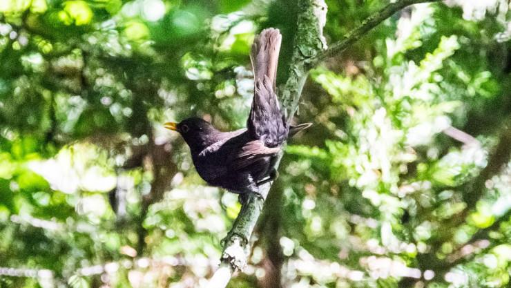 Karatavuk (Turdus merula)