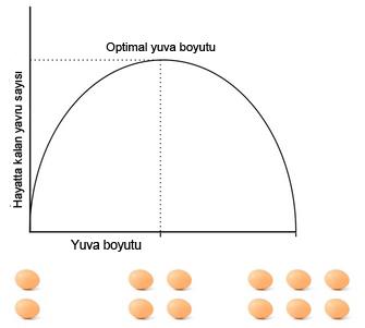 Şekil 4: Lack'in Kuş Yuvası Kavramı. Lack'in Kuş Yuvası kavramı, yavru ölümünü kuş yuvası boyutunun bir işlevi olarak kabul edip, kuş yuvası boyutunun tüylenmiş (hayatta kalabilmiş) yavru sayısını azami seviyeye çıkaracak boyutta olduğunu ifade eder. Yuva boyutu ile yavruların hayatta kalması arasındaki mübadele üreme gayretinde bir vasati optimum oluşturmaktadır.
