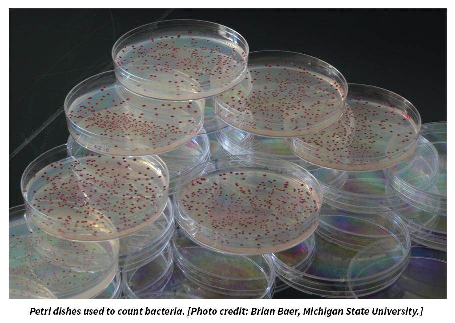 Bakteri sayısını ölçmek için kullanılan petri kapları.