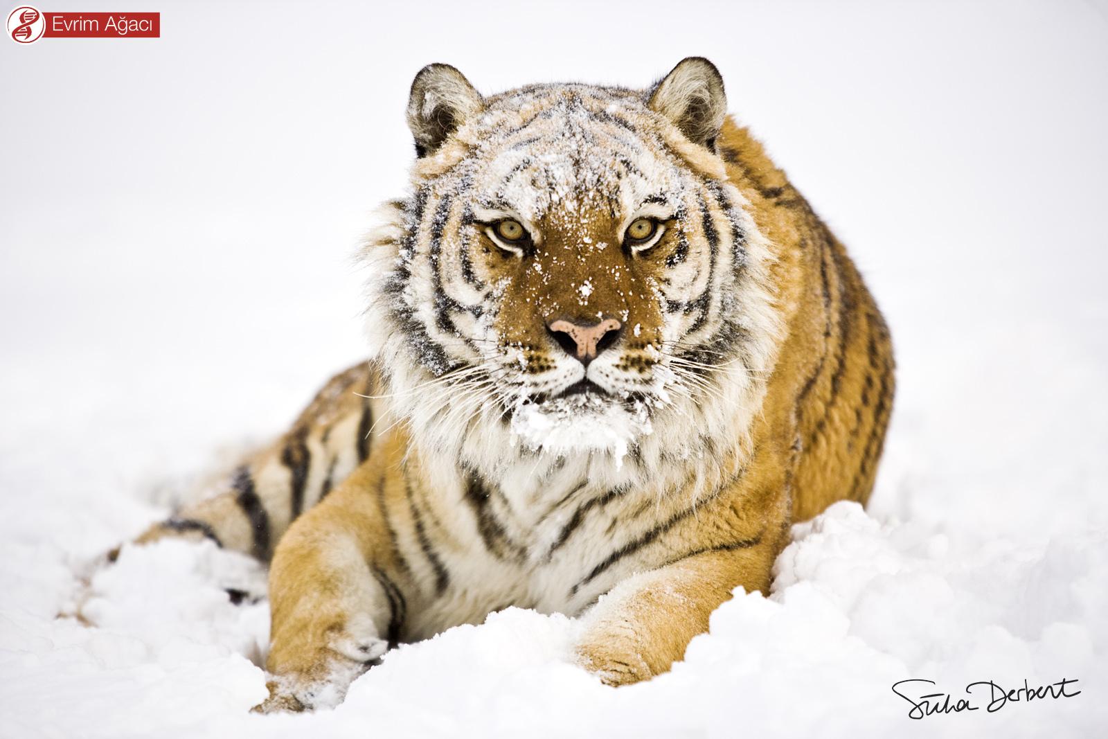 Yaşadığı bilinen en büyük kedi olan Sibirya kaplanı (Panthera tigris tigris).