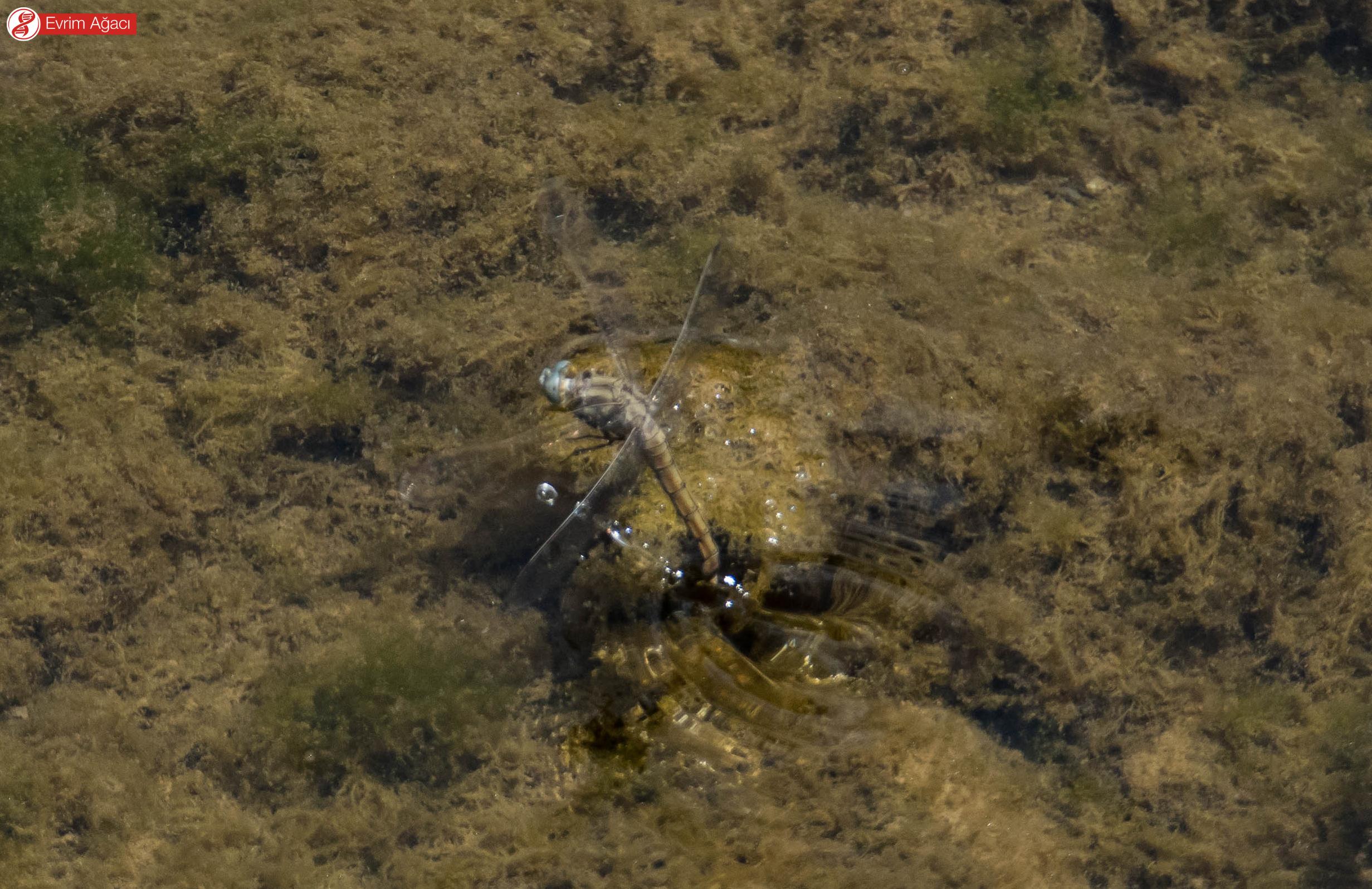 Karnını suya hızlı darbeler ile vurarak yumurtalarını bırakan bir yusufçuk türü.