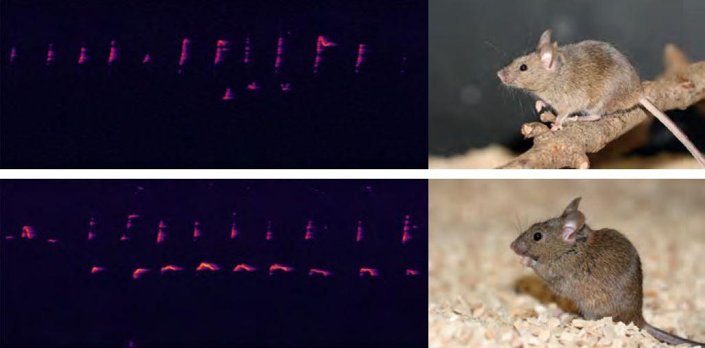 Aynı alt türe ait hayvanlar olan Fransız (üstteki) ve Alman (alttaki) M. m. domesticus'ların sesötesi bölgedeki bazı seslerinin karşılaştırılması. Hayvanlar, bölgeden bölgeye farklılaşan karmaşık heceler yoluyla iletişim kurmaktadır. Dişiler birbirleriyle daha fazla iletişim kurarlar (özellikle de kendi aralarında olduklarında). Dişiler erkeklerle iletişimlerinde daha az ve daha farklı sesler kullanır.