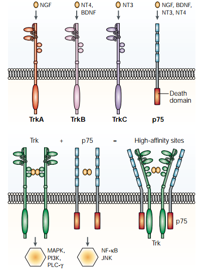 Görsel 1. Trk ve p75 reseptör aktivasyon modelleri