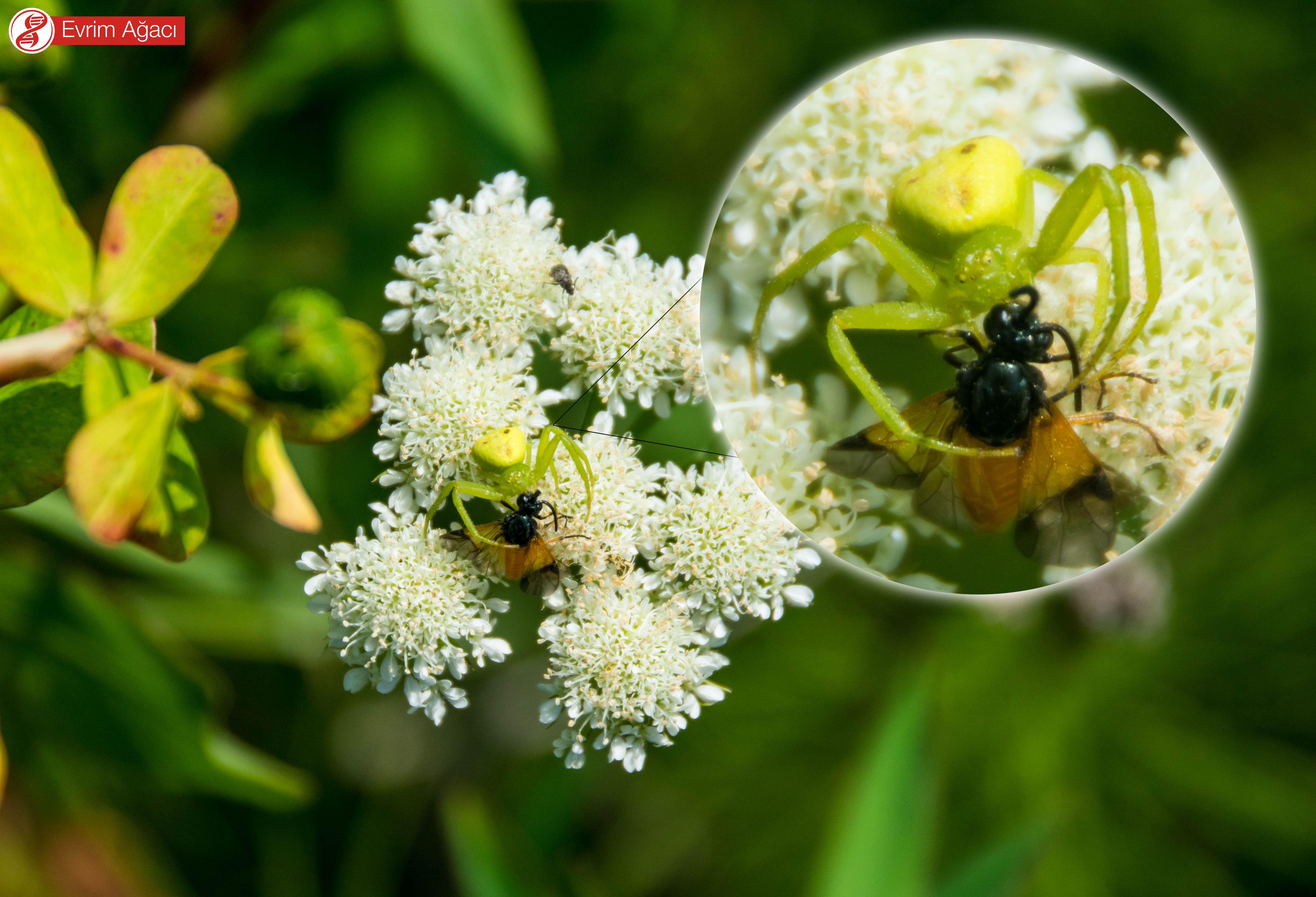 Çiçeğin üzerinde nektar toplamaya gelen avının iç organlarını enzimleri ile parçaladıktan sonra emen birey.
