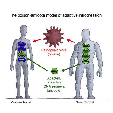 Neandertaller, modern insanlarlar virüsleriyle birlikte bunlarla başa çıkma mekanizmalarını da verdiler.