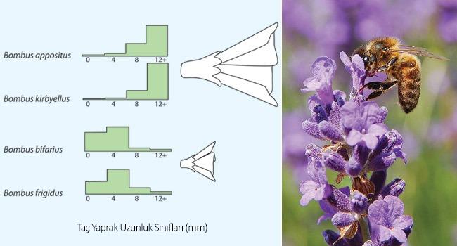 Görsel 1. Yabanarılarında (Bombus spp.) kaynak paylaşımı. Türlerin farklı uzunlukta hortumlarının olması, onlara farklı uzunluktaki taç yapraklı bitkilerden faydalanma olanağı sağlar. Birbirine yakın uzunlukta hortumları olan türler farklı yüksekliklerde yaşarlar (Pyke 1982). Görsel Begon ve ark. (1990) çalışmasından uyarlanmıştır.