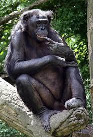 Görsel 4. Bonobo (Pan paniscus)
