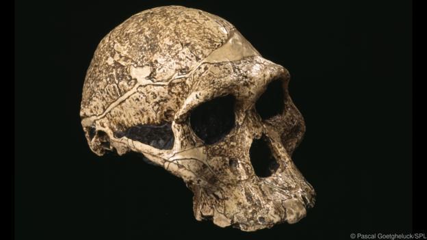 Australopithecus kafatası