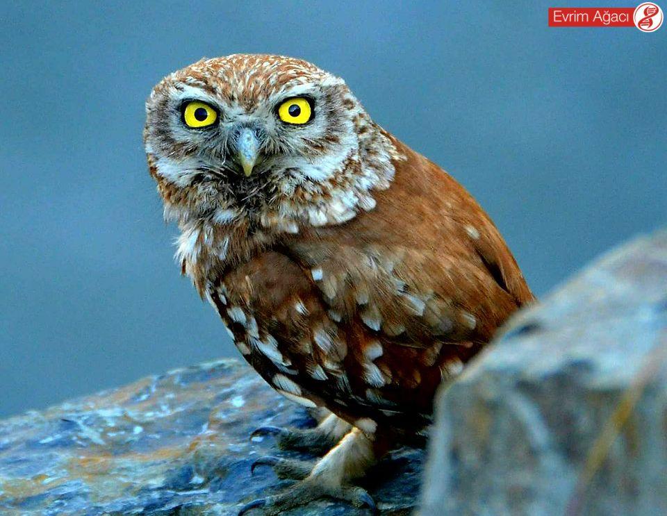 Sağlıklı bir kukumav, İstanbul/Belgrad Ormanı'nda gözlemlediğimiz bu arkadaş gibi olmalı.