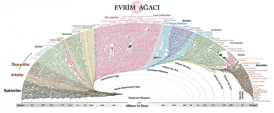 Türkçe Evrim Ağacı