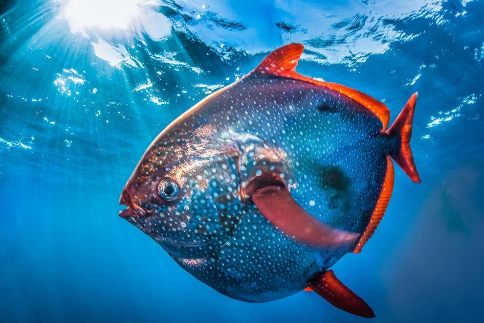 Endotermik olduğu anlaşılan ilk balık opah diye bilinen Lampris cinsi.