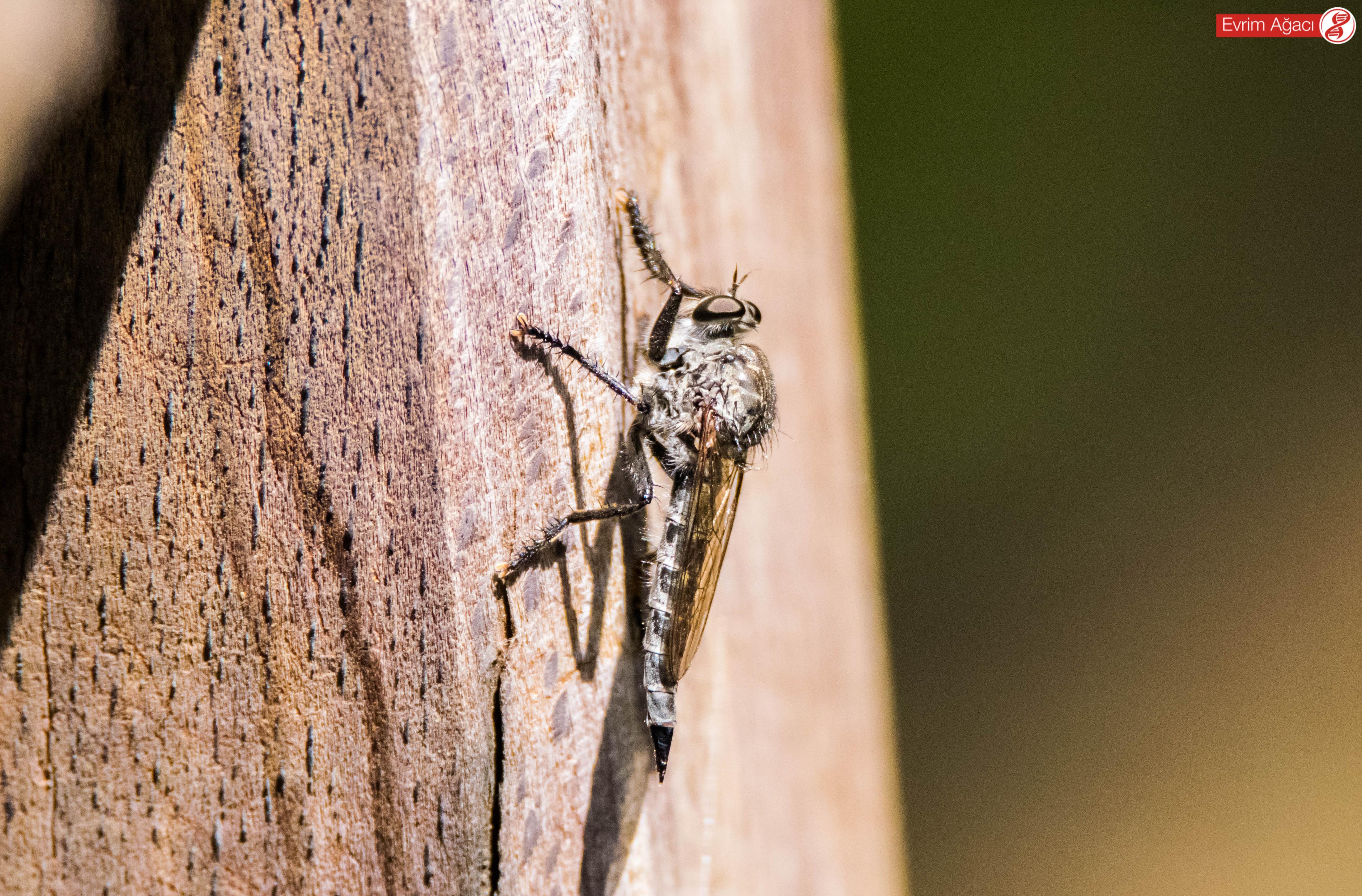 Karnının ucundaki yumurta kanalı (ovipositor), kendisinin pusuya yatan bir dişi olduğunu gösteriyor.