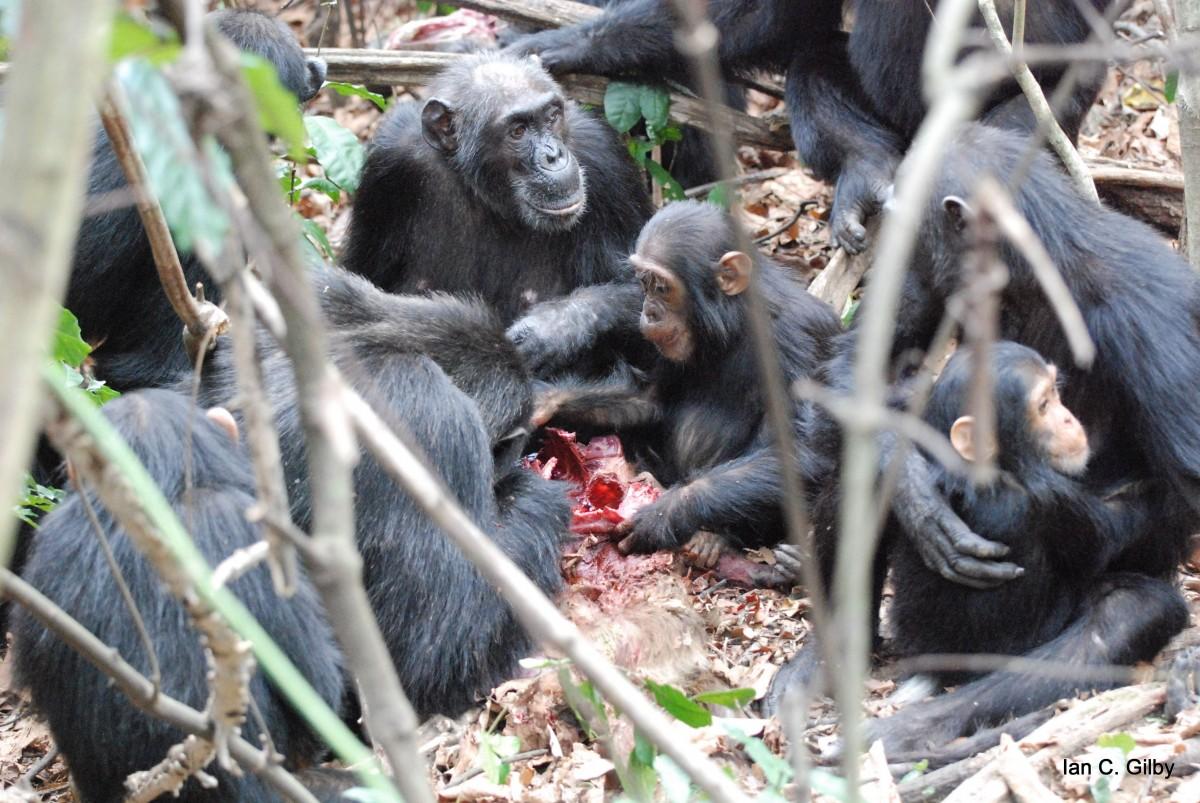 En yakın kuzenlerimizden olan ve aslında bitkisel ürün ağırlıklı bir hepçil olan Pan troglodytes (Şempanze) türü avının etini toplu olarak tüketirken... Fotoğraf günümüze aittir.
