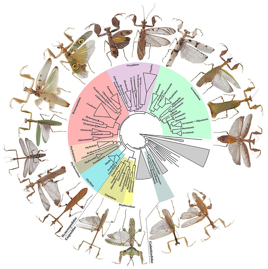 Birkaç mantis türünün evrimsel akrabalık ilişkilerini gösteren filogenetik harita...