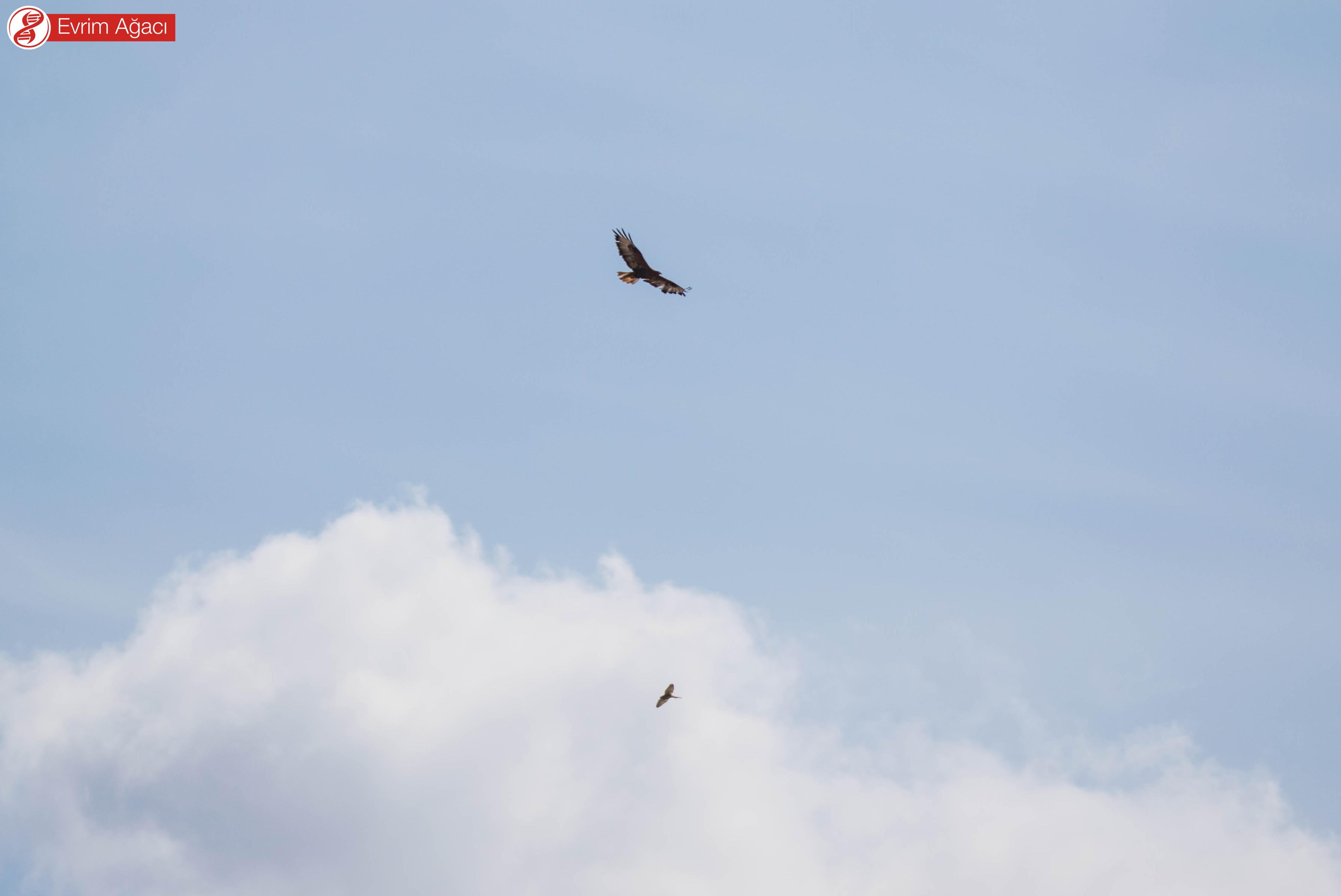 Yukarıda kızıl şahin (Buteo rufinus) ve aşağıda kerkenez (Falco tinnunculus) dansı.
