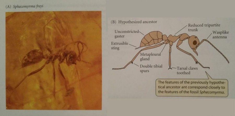 Sağ tarafta, Wilson ve ekip arkadaşlarının sol taraftaki fosil keşfedilmeden önce atasal karıncada bulmayı bekledikleri ve gerçekten bulunan özellikler görülmektedir.