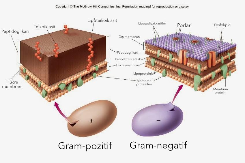 Başlıca hücre duvarı açısından farklılık gösteren bakterilerin gram boyanması.