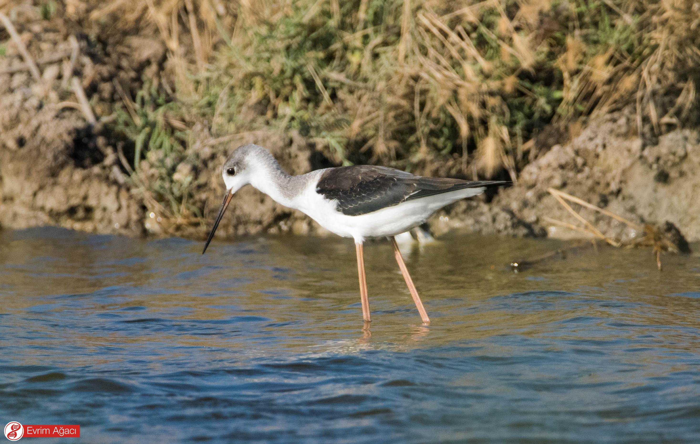 İnanılmaz uzun bacakları sayesinde sığ sularda kolayca yürüyüp, avlanabilirler. Kanat tüyleri arasındaki beyaz renkler henüz bir genç olduğunu gösteriyor.
