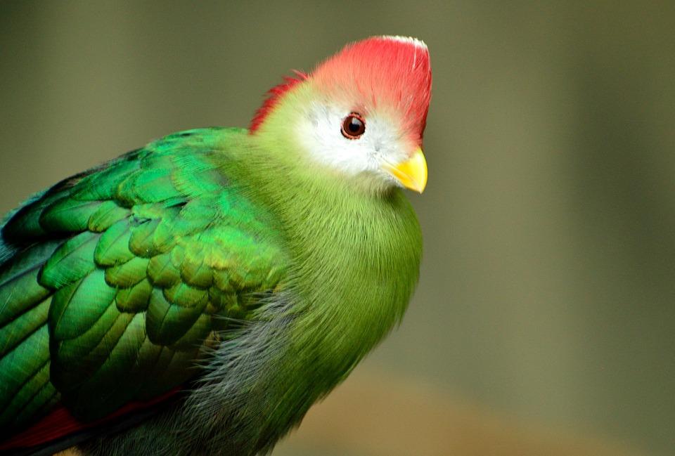 Kırmızı ibikli Turaco kuşunun tüy rengi porfirinlerden ileri gelir.