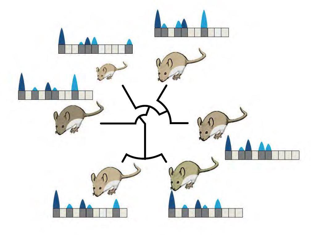 Farklı fare türlerinin genomlarındaki farklı güçlülük düzeylerinde aktif olan DNA bölümleri (siyah çizgiler akrabalık ilişkilerini temsil etmektedir): Koyu gri kutucuklar RNA moleküllerine çevrilen bölgeleri temsil etmektedir. Üzerlerindeki üçgenlerin yükseklikleri üretilen RNA'nın miktarını sembolize etmektedir. Genomun %10'u tüm hayvanlarda aynı şekilde kullanılırken (soldaki kutucuk) kodlamayan bölümler olarak adlandırılan yerler, farklı güçlülük düzeylerinde okunmaktadır. Bu şekilde üretilen RNA molekülleri sadece evrimsel bir avantaj sunuyorlarsa korunurlar; sonra bu bölümlerden yeni genler oluşabilir.