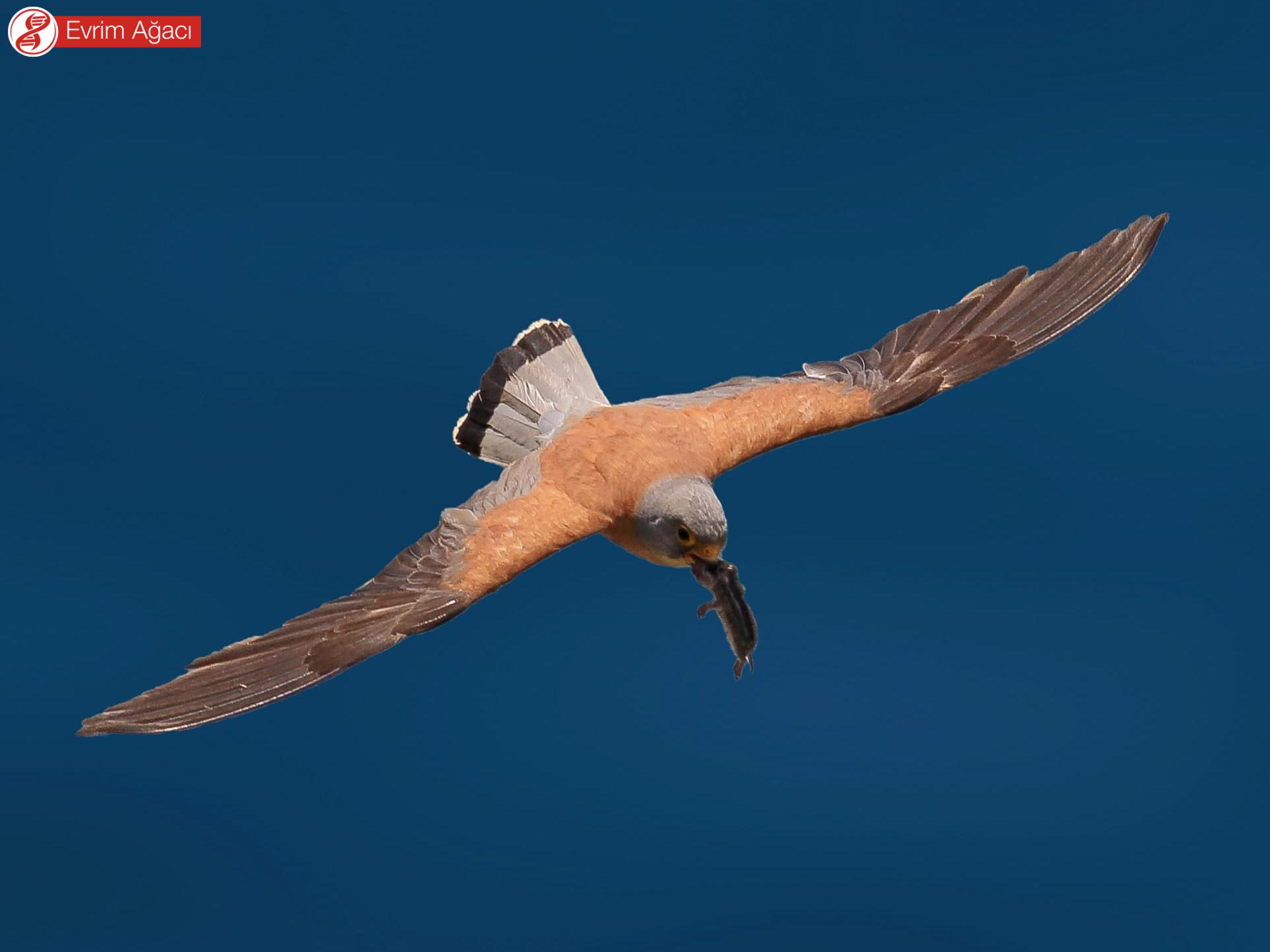 Sırtındaki ve kanatlarındaki siyah noktaların bulunmadığı küçük kerkenez (Falco naumanni) türü ile karıştırılmamalıdır.