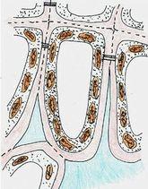 Rengi değişen yapraktaki 3. aşama: Klorofiller kalan karotenoidleri ortaya çıkarmak için parçalanır, artık antosiyanin üretilmez.