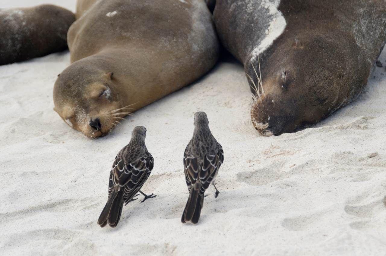 Galapagos alaycıkuşları, deniz aslanlarının ağızlarından avlarını çalarak yeni bir parazitik yöntem geliştirdiler