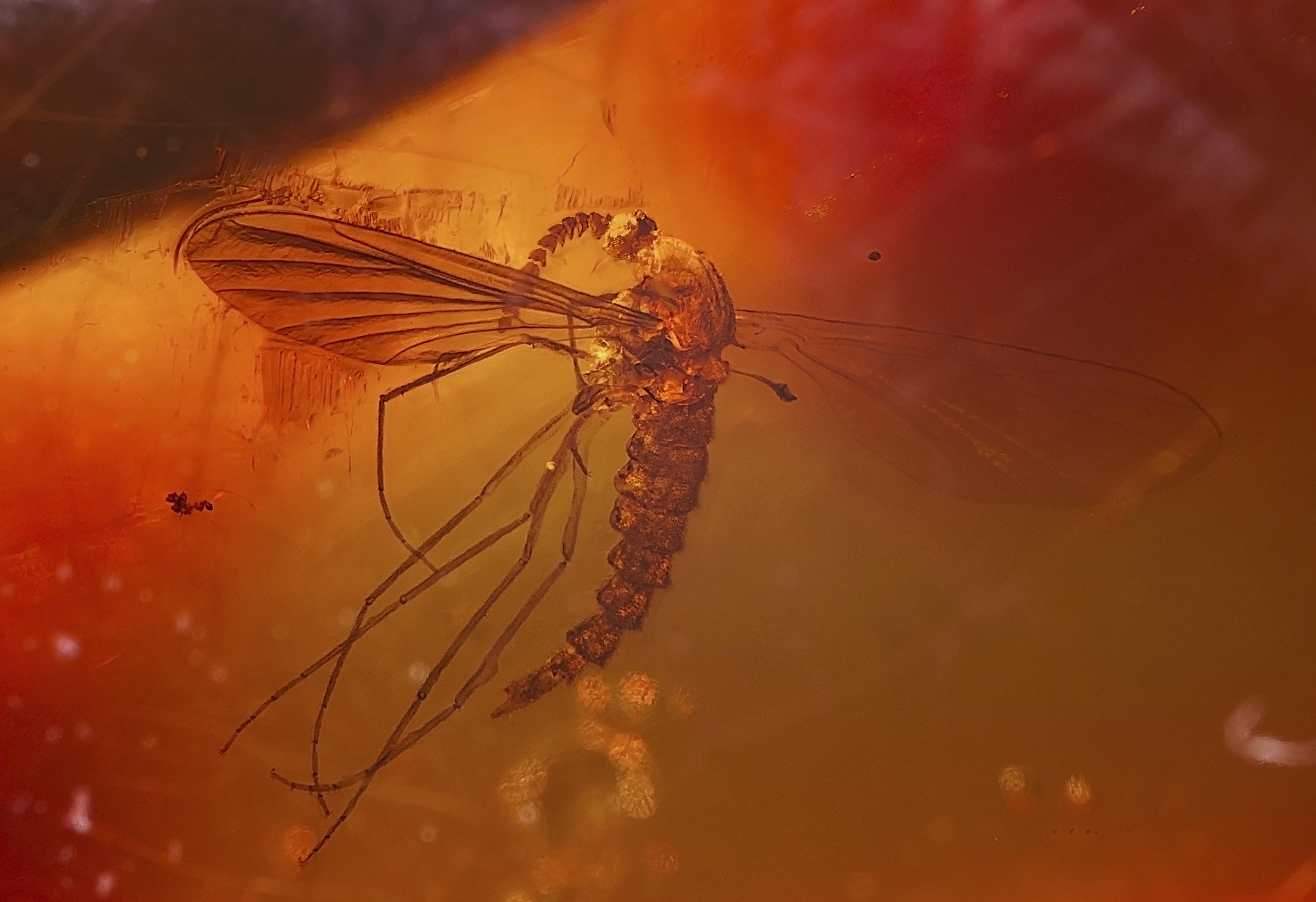 Dominik Cummhuriyeti'nde Kuzey Cordillera'da bulunan Erken Miyosen döneminden (yaklaşık 20 milyon yıl önce) kalma içinde sivrisinek (1.2 cm) bulunan kehribar.