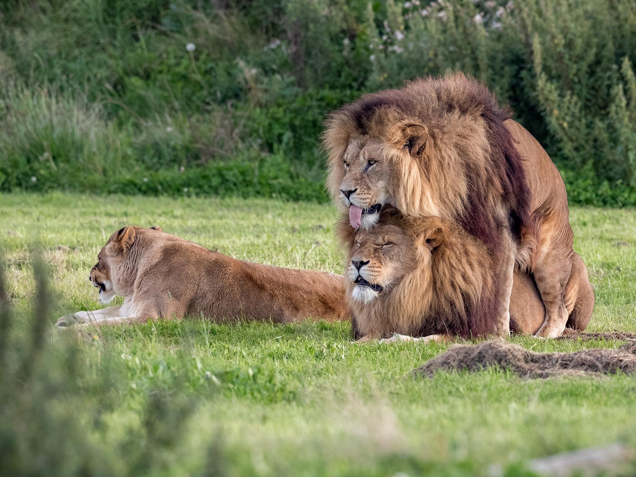 Eşcinsel erkek aslanlar