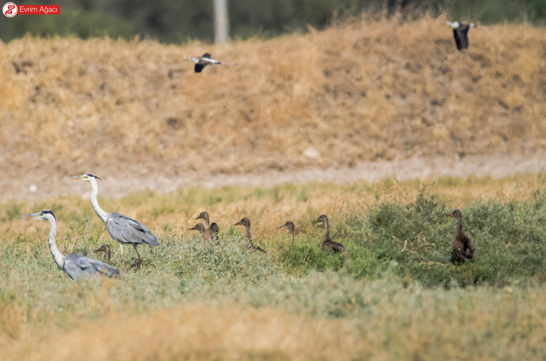 Tek karede 3 farklı taksonomik aile! Havada uçuşan uzunbacaklar (Himantopus himantopus), yerde tüneyen iki gri balıkçıl (Ardea cinerea) ve kafaları gözüken yeşilbaş ördekler (Anas platyrhynchos).
