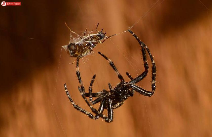 Kanatlı karıncayı ağına sarmaladıktan sonra yemeye hazırlanan bir başka birey.