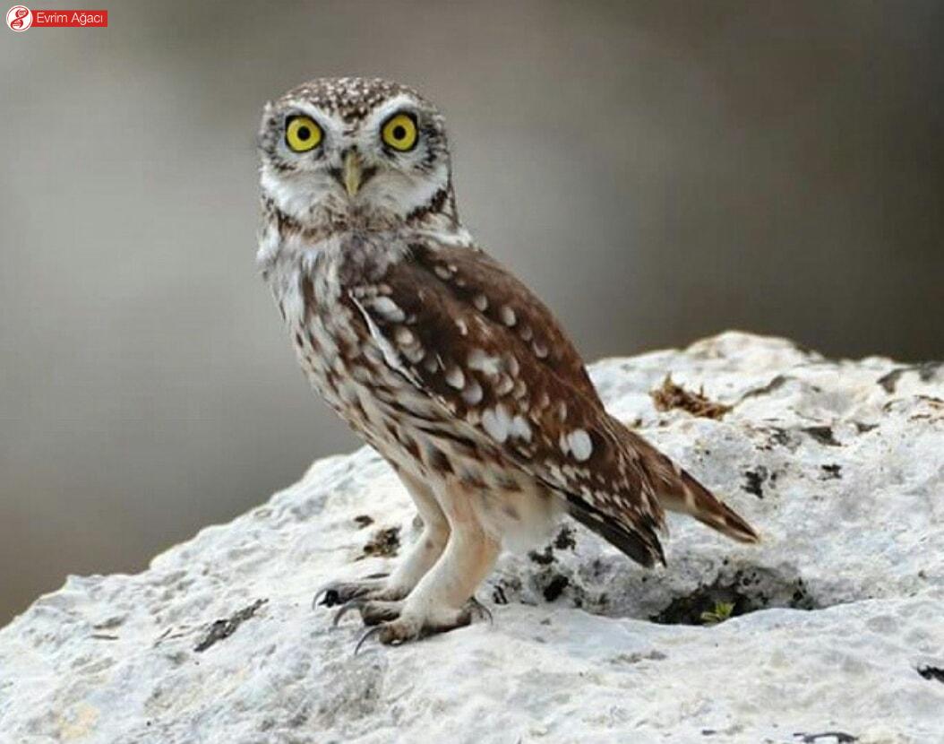 Gözlemlediğimiz küçük bir baykuş türü olan kukumav (Athene noctua). Kanatların gözlere olan benzeriliğine dikkat edin.