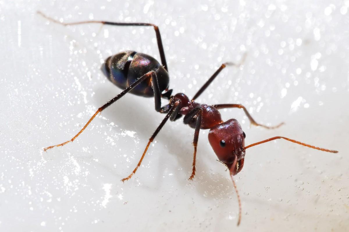 Karıncalar bilinen en karmaşık sosyal yaşantılardan birisine sahiptirler. Tür içi iletişimleri oldukça gelişmiştir ve çok karmaşık iş bölümlerine sahiptirler. Her bir karınca sürü içerisindeki rolünü algılar ve uygular. Ancak bu hayvanlar çok nadiren etle beslenirler; dolayısıyla gerekli enerji altyapısına pek sahip değildirler. Buna rağmen karıncalarda iki ayaklılık bulunmuyor olmasına rağmen, yaşadıkları ağaçlarda ve 3 boyutlu konumsal uzay içerisinde herhangi bir pozisyonda durabiliyor olmalarından ötürü gelişmiş bir denge algısına sahip olmak zorundadırlar. Bu da beynin evrimini tetiklemektedir. Ancak karıncalarda pek fazla el-göz koordinasyonu bulunmamaktadır, dolayısıyla bu açıdan çok fazla bir baskı bulunmaz. Buna rağmen faktörlerimizin etkisi altında bu canlıların zekası açıklanabilmektedir.