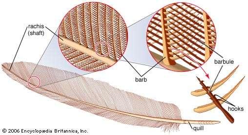 Telek ekseninin (rachis) yan tarafında olan uzun kıllar (barb) ve onların yanında yer alan küçük tüyler (barbules)