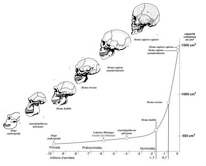 Görülebileceği gibi, yukarıda gösterilen türlerin vücut büyüklükleri, beyin hacmini gösteren bu grafikle kıyaslandığında, zekamızın kaynağının temelleri ortaya çıkmaktadır. Vücut büyüklüğümüz neredeyse hiç değişmemişken, beyin hacmimiz muazzam bir artış göstermiştir.