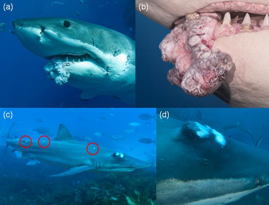 Farklı köpekbalığı türlerinde gözlemlenen tümörler.